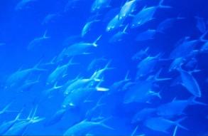 blue fish_2 copy